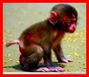 9 scimmietta