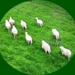 pecore-